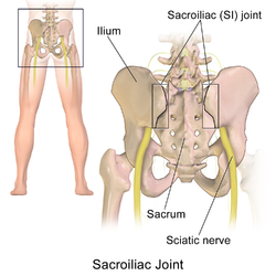 Sacroiliac joint of the male pelvis